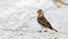 Un longspur vigilant de la Laponie se tenant sur la neige Photo stock