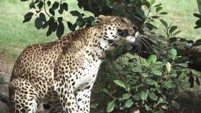 Un léopard secoue la tête dans le mouvement lent superbe banque de vidéos
