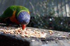 Un lorikeet alimentant sur des graines Photos stock