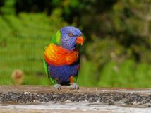 Un lorikeet colourful dell'arcobaleno Immagine Stock