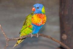 Un loro brillantemente coloreado hermoso en la exhibición en un ambiente prisionero Fotografía de archivo libre de regalías