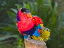 Un loro brillantemente coloreado hermoso en la exhibición en un ambiente prisionero Fotografía de archivo