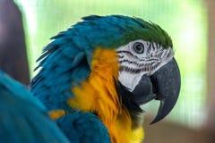 Un loro de las zonas tropicales y de su pico imágenes de archivo libres de regalías