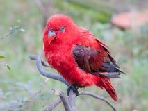 Un loro rojo juvenil en la exhibición en un ambiente prisionero Fotos de archivo libres de regalías