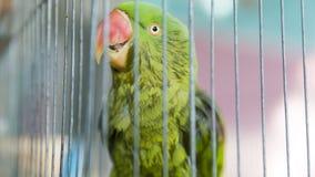 Un loro verde atrapado en una jaula de acero y mirar fijamente en la cámara Imágenes de archivo libres de regalías