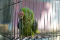 Un loro verde atrapado en una jaula de acero y mirar fijamente en la cámara Fotografía de archivo