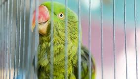 Un loro verde atrapado en una jaula de acero y mirar fijamente en la cámara Fotografía de archivo libre de regalías