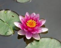 Un loto che fiorisce sull'acqua Fotografie Stock Libere da Diritti