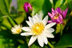 Un loto di quattro fiori Fotografie Stock