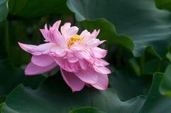 Un loto floreciente Foto de archivo libre de regalías