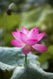 Un loto hermoso en el campo de China imágenes de archivo libres de regalías