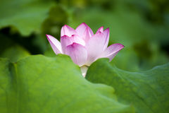 Un loto hermoso en el campo de China imagenes de archivo