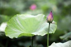 Un loto hermoso en el campo de China foto de archivo libre de regalías