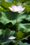 Un loto hermoso en el campo de China fotos de archivo