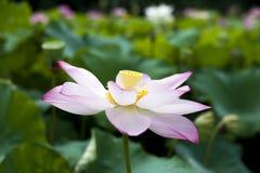 Un loto hermoso en el campo de China imagen de archivo libre de regalías
