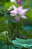 Un loto hermoso en el campo de China fotos de archivo libres de regalías