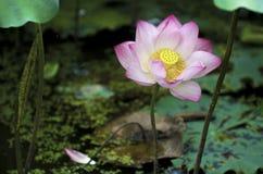 Un loto hermoso en el campo de China foto de archivo