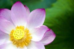 Un loto hermoso en el campo de China imagen de archivo