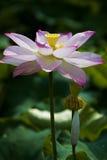 Un loto hermoso en el campo de China fotografía de archivo
