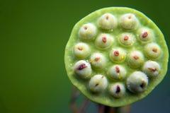 Un loto hermoso en el campo de China fotografía de archivo libre de regalías