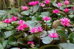 Un loto o una ninfea di rosa del fiore, che sono simbolici di buddismo Fotografie Stock