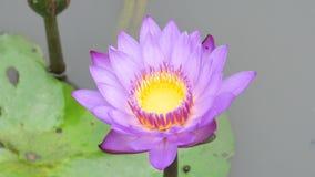 Un loto púrpura almacen de video