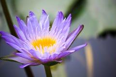 Un loto púrpura Fotos de archivo