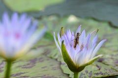 Un loto púrpura Fotos de archivo libres de regalías