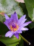 Un loto púrpura en una charca Imagen de archivo libre de regalías
