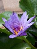 Un loto púrpura en una charca Imágenes de archivo libres de regalías