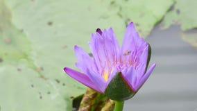 Un loto púrpura almacen de metraje de vídeo