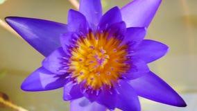Un loto púrpura es uno del tipo hermoso de la flor