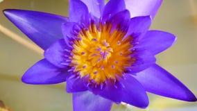 Un loto púrpura es uno del tipo hermoso de la flor almacen de video