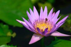 Un loto púrpura floreciente Foto de archivo