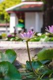 Un loto púrpura floreciente Fotografía de archivo