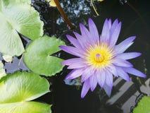 Un loto porpora di fioritura è nel bacino fotografia stock libera da diritti