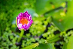 Un loto rosado Fotos de archivo