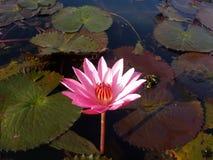 Un loto rosado Foto de archivo