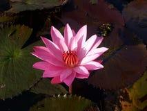 Un loto rosado Imagen de archivo