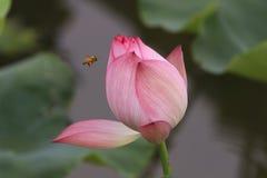 Un loto rosado Imagenes de archivo