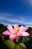 Un loto rosado bajo el cielo azul Fotografía de archivo libre de regalías