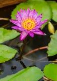 Un loto rosado soleado Imágenes de archivo libres de regalías