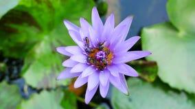 Un loto y una abeja púrpuras