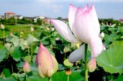 Un lotus unique dans l'étang image stock