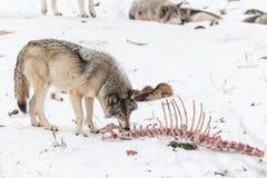 Un loup de bois de construction solitaire dans une scène d'hiver Photos libres de droits