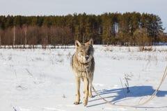 Un loup en hiver dans un domaine large sur une laisse dans la neige contre un ciel bleu Derrière la forêt photographie stock libre de droits