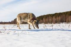Un loup gris adulte part furtivement le long d'un champ neigeux d'hiver parmi une forêt photo libre de droits