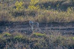 Un loup solitaire regarde fixement de nouveau dans la caméra images libres de droits