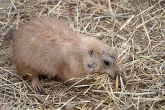 Un ludovicianus del Cynomys della marmotta Immagine Stock Libera da Diritti