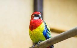 Un lumineux et beau perroquet de Rosella se reposant sur une branche image stock